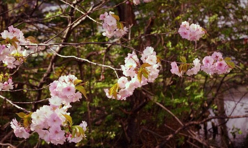 taman sakura di kebun raya cibodas